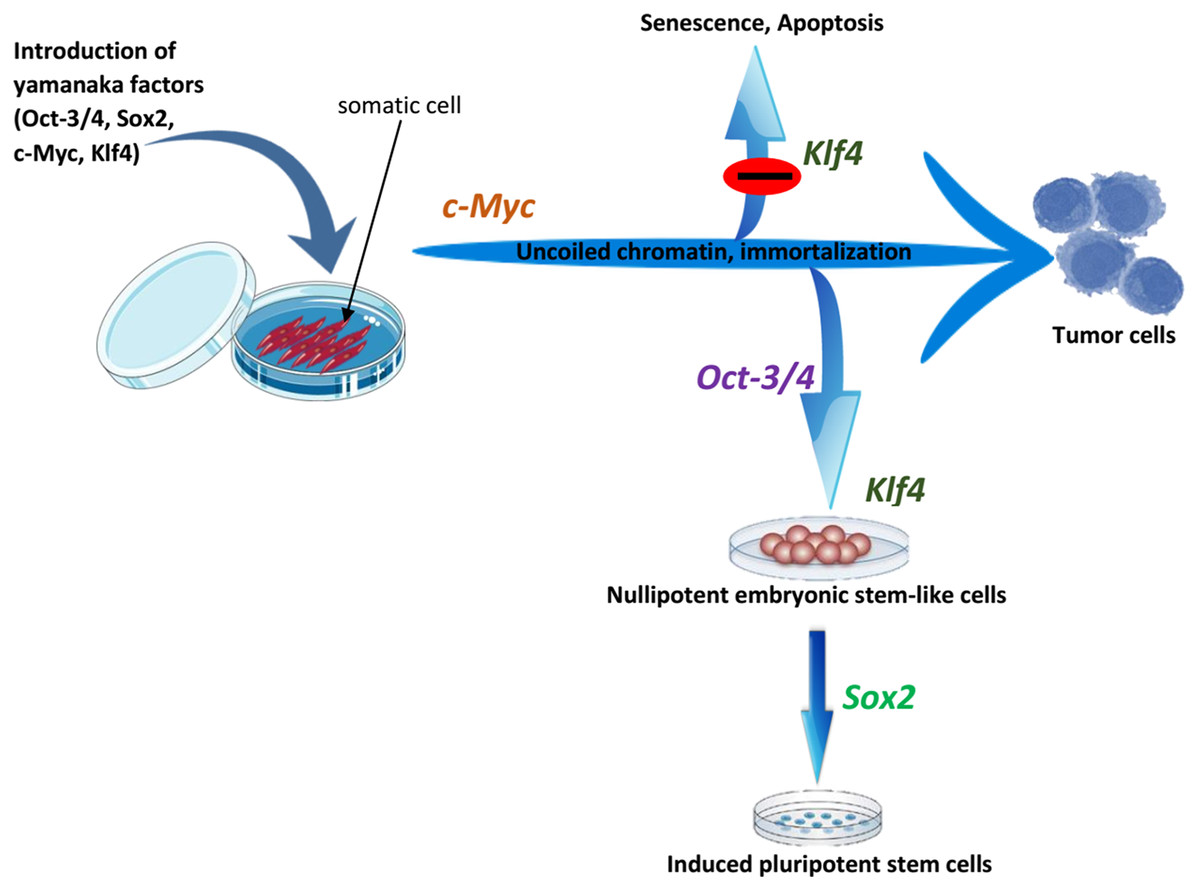The Roles Of Oskm Factors In The Induction Of Ipscs