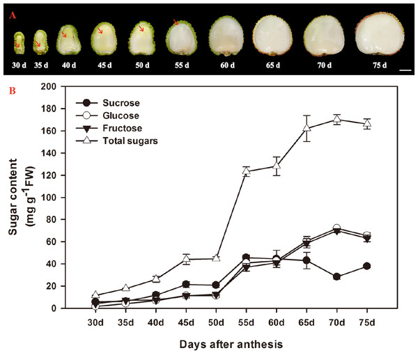 Changes in aril growth (A) and the contents of sucrose, glucose, fructose, and total sugars (B) of Litchi chinensis Sonn. cv. Feizixiao during fruit development.