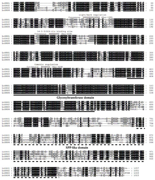 Alignment analysis of deduced amino acid sequences of four LcSPS proteins.