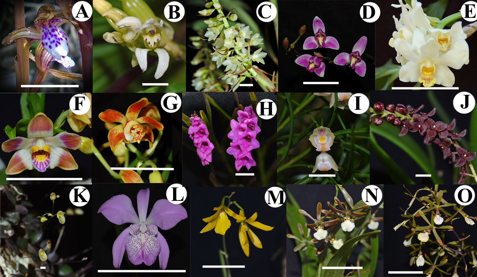 Anther development in tribe Epidendreae: orchids with contrasting ...