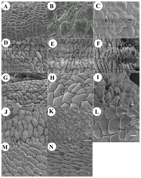 Micrographs of anther cap cuticle.