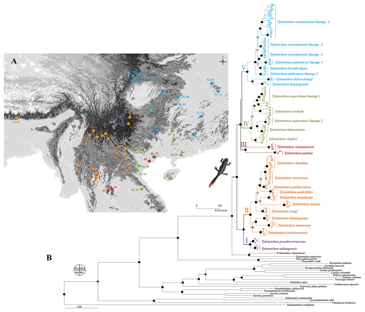 Phylogenetic surveys on the newt genus Tylototriton sensu lato ...