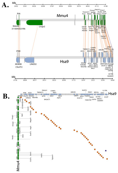Conserved Synteny between human and mouse genomes.