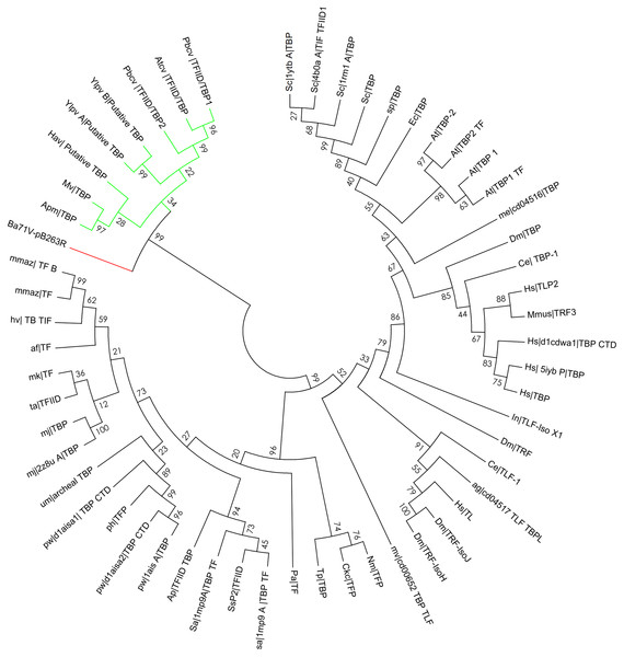 Bootstrap phylogenetic tree of pB263R with archaeal, eukaryotic, and prokaryotic TBPs and related factors.
