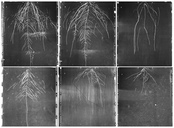 Examples of GROWSCREEN-Rhizo root images at 19 DAT.