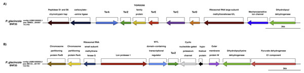 Genomic context of the ter genes harbored by P. glacincola BNF20.