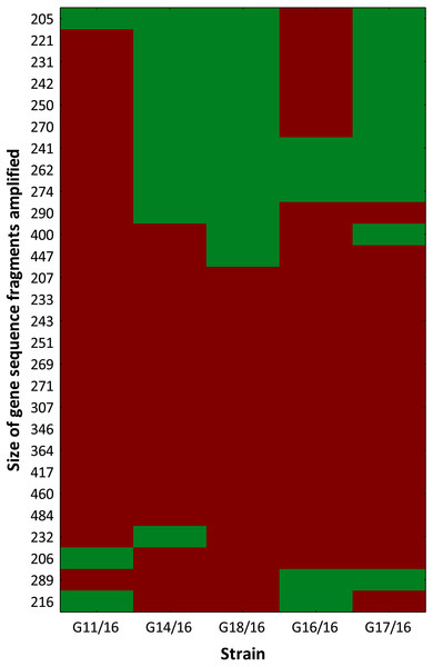 Genotype profile of Petriella setifera strains.
