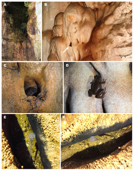 Breeding habitat of Siamophryne troglodytes Gen. et sp. nov. at the type locality—Sai Yok District, Kanchanaburi Province, northern Tenasserim Region, western Thailand.