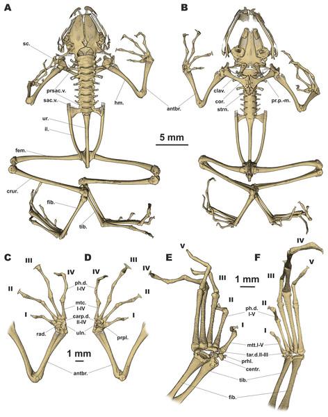 Osteology of Siamophryne troglodytes Gen. et sp. nov. (paratype, ZMMU A-5818).