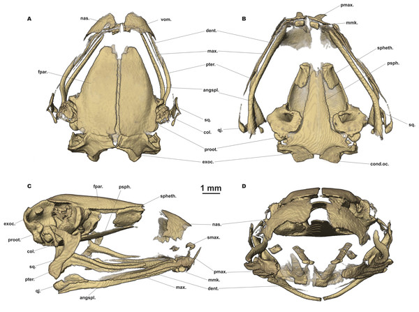 Head skeleton of Siamophryne troglodytes Gen. et sp. nov. (male paratype, ZMMU A-5818).