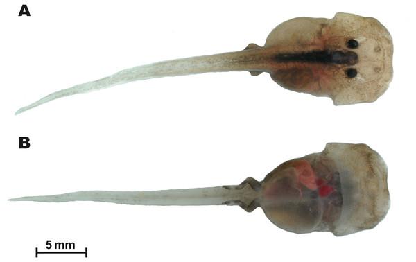 Tadpole of Siamophryne troglodytes Gen. et sp. nov. in life (AUP-00509; Gosner stage 36).