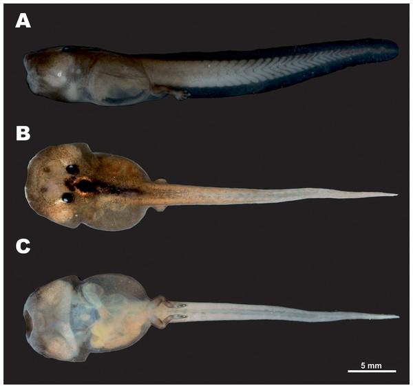 Tadpole of Siamophryne troglodytes Gen. et sp. nov. in preservative (AUP-00509; Gosner stage 36).