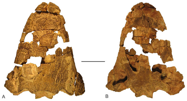 Skull of Metoposaurus krasiejowensis from the Upper Triassic of southwest Poland (UOPB 01029) used in the histological study, in dorsal (A) and palatal (B) views.