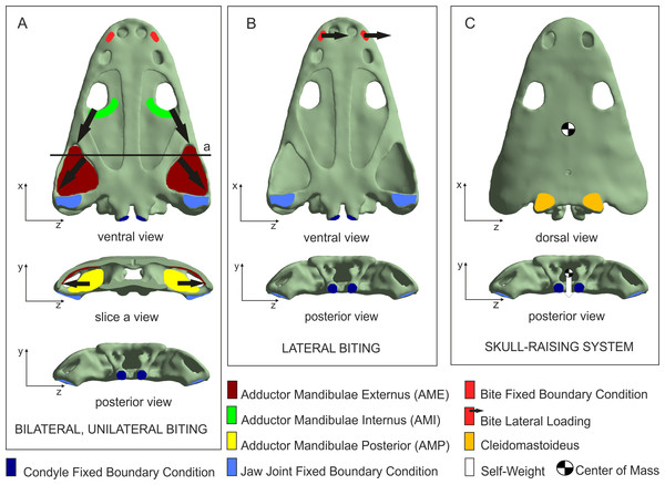 Loading and boundary conditions used to simulate (A) bilateral and unilateral biting, (B) lateral biting, and (C) skull-raising system.