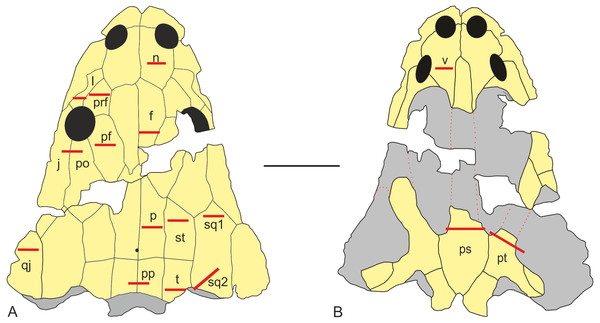 Sectioning planes of dermal bones of skull of Metoposaurus krasiejowensis (UOPB 01029) in dorsal (A) and palatal (B) views.