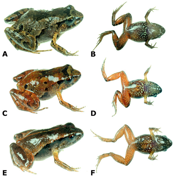 Dorsolateral and ventral views of four paratypes of Psychrophrynella glauca sp. n. showing variation in dorsal and ventral coloration.
