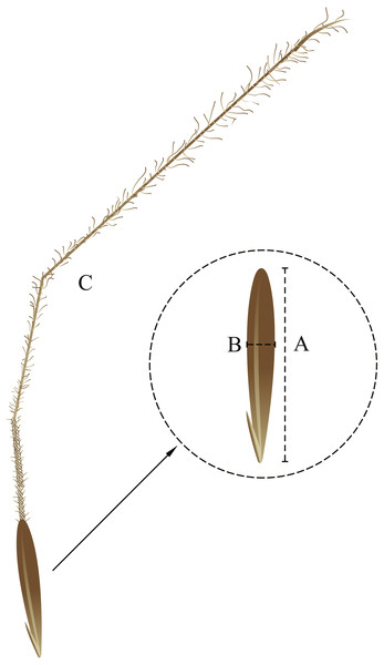 Seed morphological characteristics. (A) seed length; (B) seed width; (C) awn.