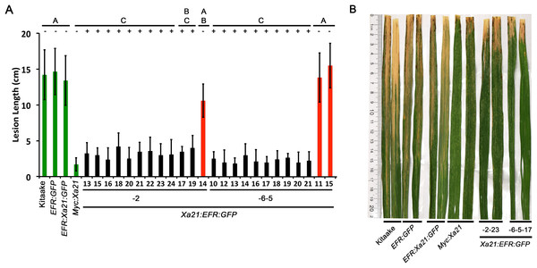 Rice expressing Xa21:EFR:GFP are resistant to Xoo infection.