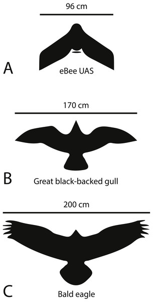 Silhouettes and wing spans of predatory birds in comparison to the eBee UAS.
