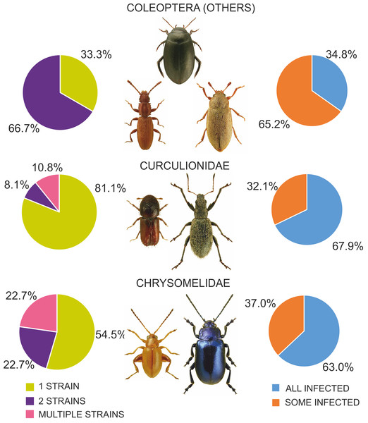Diversity of Wolbachia infection in Coleoptera with respect to shares of infected individuals within species and numbers of strains found in beetles.