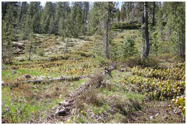 2009 collecting locality of Aphanotrigonum darlingtoniae. Mt Eddy, Siskiyou County, California.
