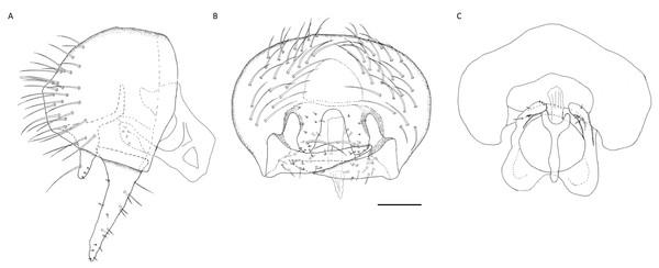 Tricimba wheeleri, male genitalia.