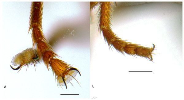 (A) Tricimba wheeleri, male fore tarsus. (B) Tricimba melancholica, male fore tarsus.