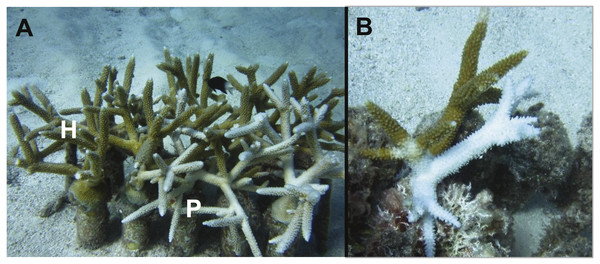 Images of bleaching and diseased colonies of Acropora cervicornis within the North Nursery.
