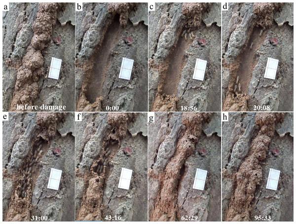 Repairing and escaping behaviors of Odontotermes formosanus individuals.