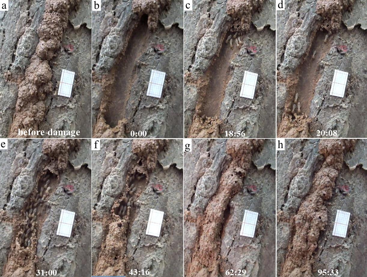 escaping and repairing behaviors of the termite