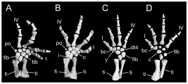 Lower hind limb of Batrachuperus londongensis (A) left lower hind limb of CIB 65I0013/14380; (B) left lower hind limb of CIB 14381; (C) left lower hind limb of CIB 14482; (D) left lower hind limb of CIB 14487.