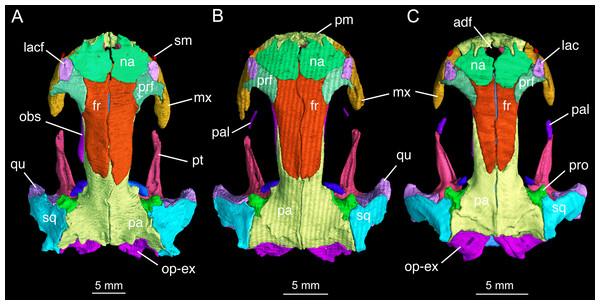 Skull roof of Batrachuperus londongensis (A) holotype CIB 65I0013/14380; (B) CIB 143481; (C) CIB 14482.