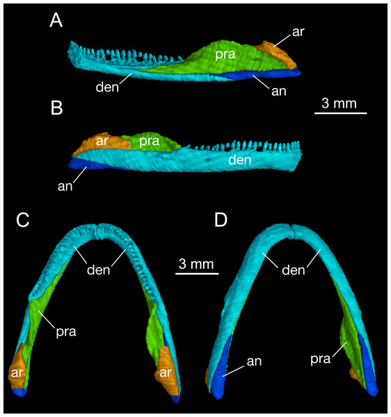 Mandible of Batrachuperus londongensis right mandible of CIB 14482 in medial (A) and lateral (B) views; mandibular arch of CIB 14482 in dorsal (C), and ventral (D) views.