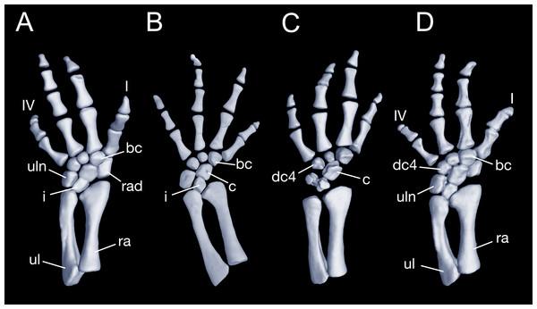 Left forearm of Batrachuperus londongensis (A) CIB 14381; (B) CIB 14484; (C) CIB 14487; (D) CIB 14507.
