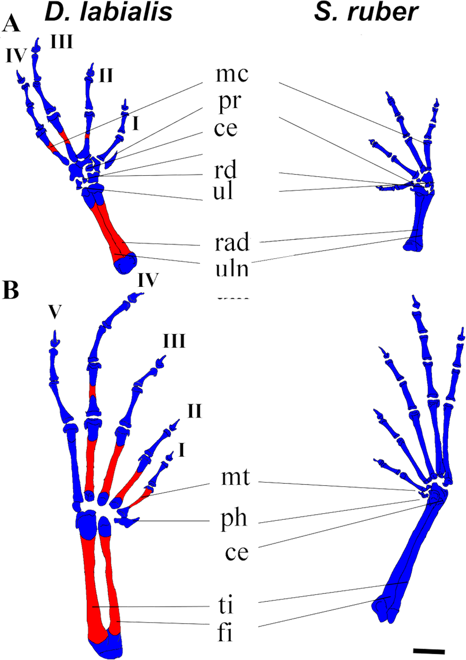 Comparative Description And Ossification Patterns Of