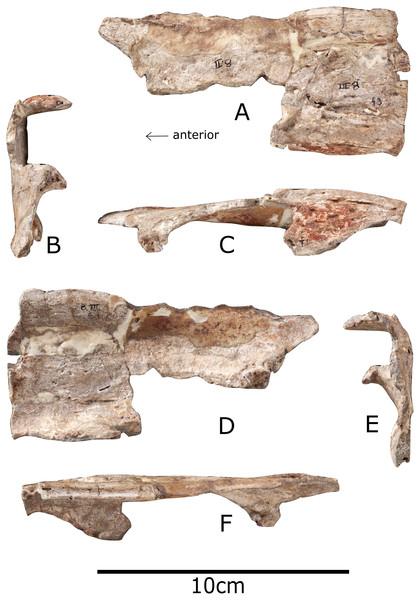 Nasal of Paranthodon africanus NHMUK R47338.