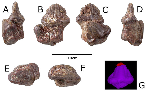Previously referred teeth of Paranthodon africanus NHMUK R4992.