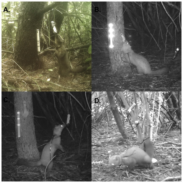 Photographs of uniquely marked martens.