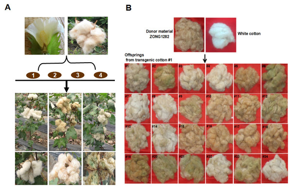 Agrobacterium-mediated transformation of brown cotton for RNAi-mediated inhibition of GhCHI.