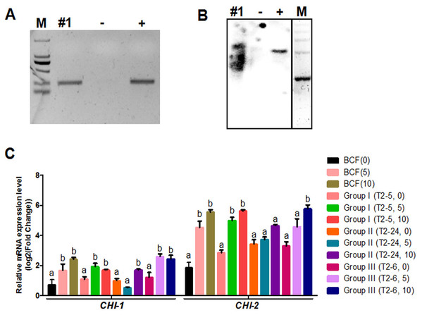 Identification of transgenic cotton and analysis of GhCHI-1 and GhCHI-2 gene expression.