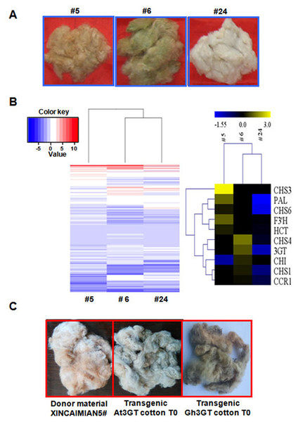 Transcriptome analysis of T1 progenies (#5, #6, and #24) originated from T0 transgenic cotton plant #1.
