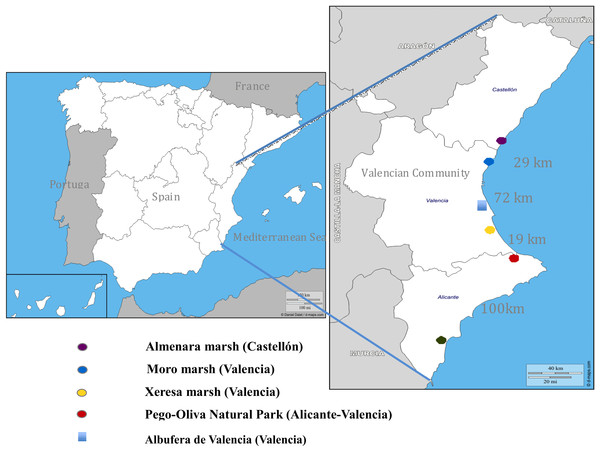 Distribution map of the five sampling areas from North to South of the Valencian Community, with the approximate distance (in kilometers) in a straight line between the wetlands studied.