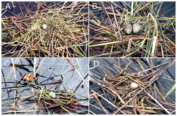 Forms and composition of Whiskered tern nests with various qualities of structure: (A) high, (B) and (C) medium & (D) low quality.