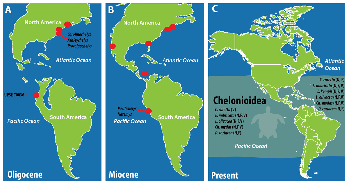 Miocene World Map.The First Oligocene Sea Turtle Pan Cheloniidae Record Of South