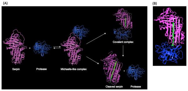 Representation of serpin-protease interaction.