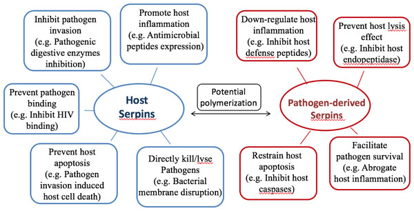 Summary of serpin functions in host-pathogen interactions.