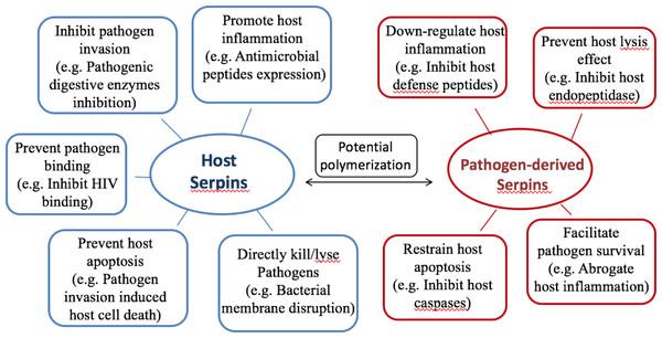 Summary of serpin functions in host-pathogen interactions.