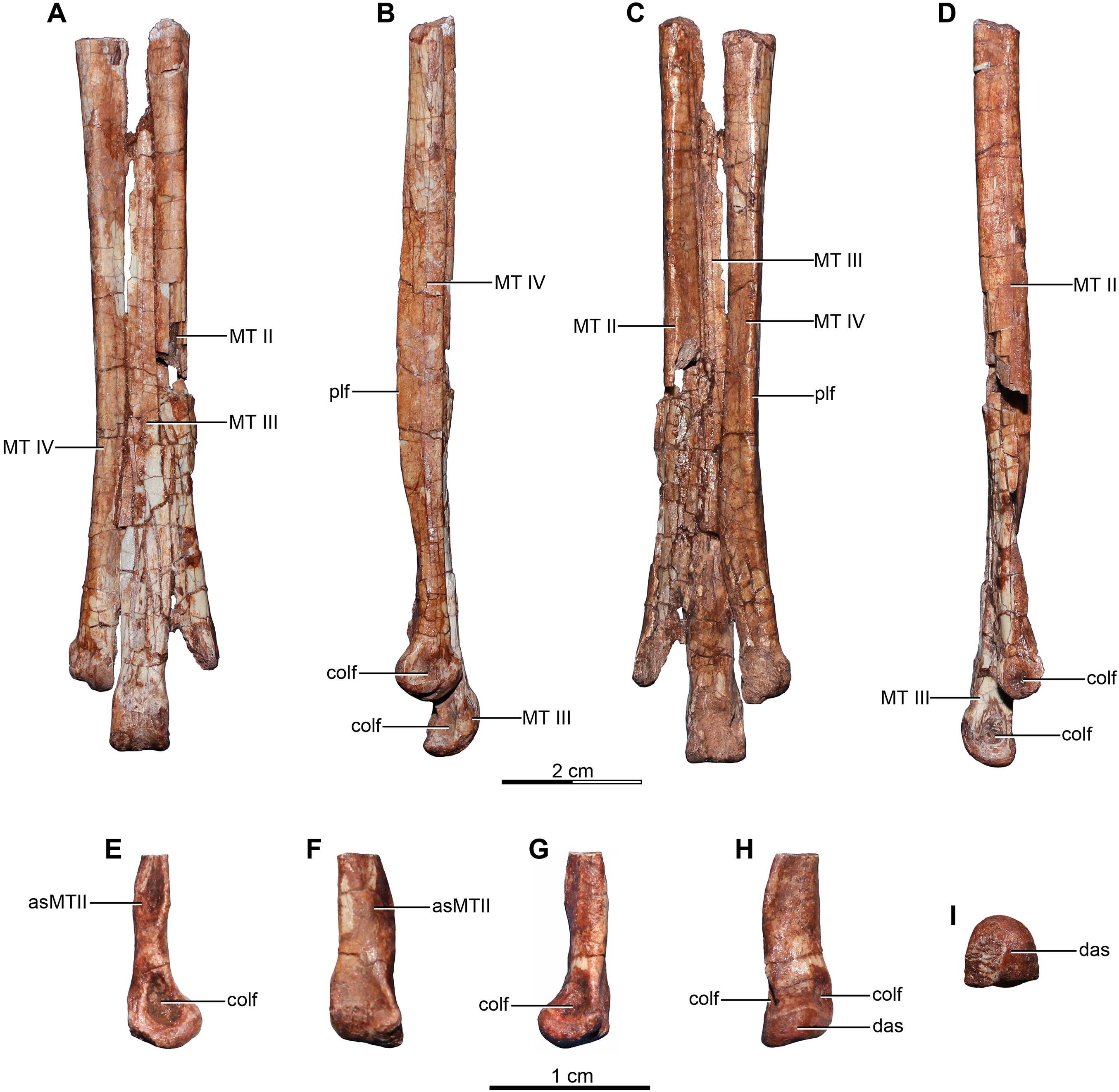Buitreraptor Size