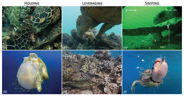 Limb use in marine turtle foraging.