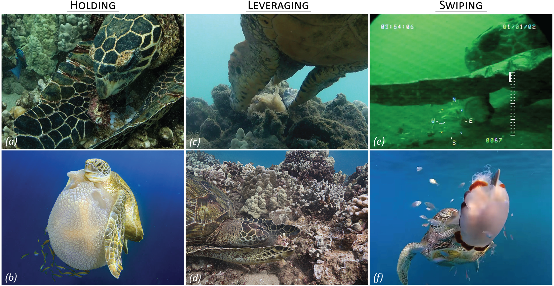Limb-use by foraging marine turtles, an evolutionary perspective [PeerJ]